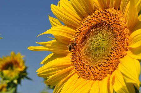 Abeille butineuse sur fleur de tournesol