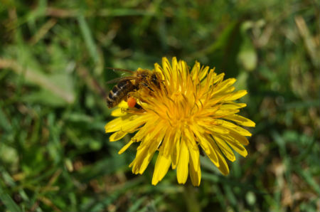 Abeille, pissenlit, pollen